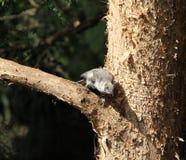 Uccello di bambino in un albero di corteccia di carta Fotografia Stock Libera da Diritti
