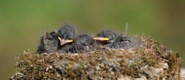 Uccello di bambino in un nido Fotografia Stock