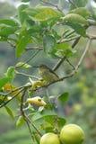 Uccello di Bananaquit che sta su un ramo nella locanda del giardino del boquete, gli altopiani, Panama Immagine Stock Libera da Diritti