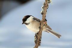Uccello di bigia di Cincia Fotografie Stock Libere da Diritti