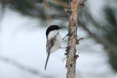 Uccello di bigia di Cincia Fotografia Stock Libera da Diritti