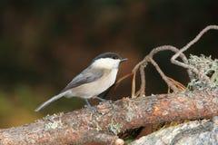 Uccello di bigia di Cincia Immagine Stock Libera da Diritti