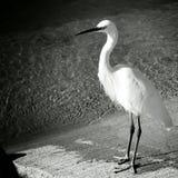 Uccello di Black&white Immagine Stock Libera da Diritti