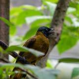 Uccello di Brown Fotografie Stock Libere da Diritti