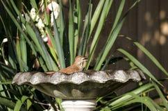 Uccello di Brown Thrasher che spruzza nel bagno dell'uccello, Atene, GA U.S.A. Fotografia Stock Libera da Diritti