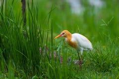 Uccello di bubulcus ibis Fotografia Stock