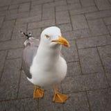 Uccello di camminata del gabbiano Immagini Stock