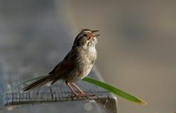 Uccello di canto Fotografie Stock Libere da Diritti