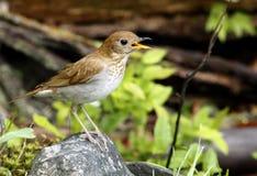 Uccello di canzone della primavera Fotografia Stock Libera da Diritti