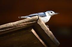 Uccello di canzone della sitta sopra l'alimentatore fotografia stock libera da diritti