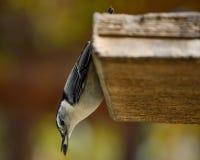 Uccello di canzone della sitta sopra l'alimentatore con il seme immagine stock libera da diritti
