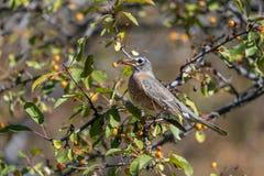 Uccello di canzone in natura fotografia stock