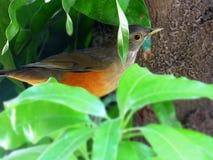 Uccello di Chalchalero Fine di Zorzal su sull'albero di mango Fotografie Stock
