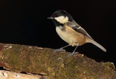 Uccello di Coaltit Immagini Stock