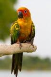 Uccello di conuro di Sun Fotografia Stock Libera da Diritti