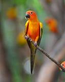 Uccello di conuro di Sun Fotografia Stock