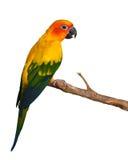 Uccello di conuro di Sun Fotografie Stock Libere da Diritti