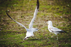 Uccello di conversazione Fotografia Stock