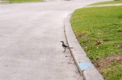 Uccello di derisione che sta sulla via Paved, mangiante un insetto, vista laterale, appena fuori dal bordo per erba Fotografie Stock