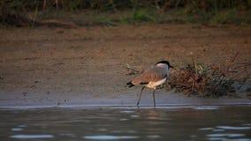 Uccello di duvaucelii del Vanellus della pavoncella del fiume in natura video d archivio
