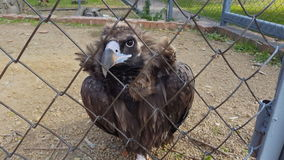 Uccello di Eagle nella gabbia dello zoo stock footage