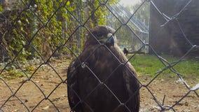 Uccello di Eagle nella gabbia dello zoo video d archivio