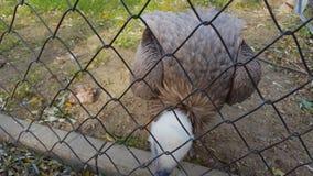 Uccello di Eagle nella gabbia dello zoo archivi video