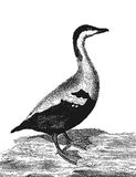 Uccello di Eider Fotografia Stock Libera da Diritti