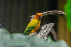 Uccello di Ellow che sta sul ramo in gabbia Fotografia Stock