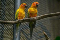 Uccello di Ellow che sta sul ramo in gabbia Fotografia Stock Libera da Diritti