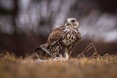 Uccello di Falco Immagine Stock