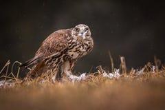 Uccello di Falco Immagine Stock Libera da Diritti