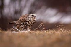 Uccello di Falco Fotografie Stock Libere da Diritti