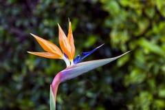 Uccello di fioritura del fiore di paradiso fotografia stock
