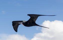 Uccello di fregata #2 Fotografie Stock