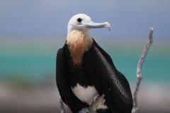 Uccello di fregata Fotografia Stock