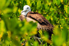 Uccello di fregata giovanile Immagini Stock
