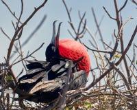 Uccello di fregata magnifico maschio con il sacchetto rosso immagine stock