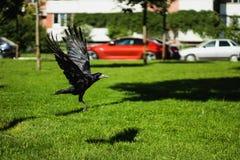 Uccello di frugilegus-a di Corvo-corvi che appartiene all'ordine delle passeriforme, la famiglia della corvidae fotografia stock