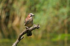 Uccello di glandarius di Jay Garrulus dell'europeo immagini stock