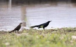 Uccello di Grackle munito grande, lago Watson, Prescott Arizona U.S.A. fotografia stock