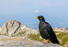 Uccello di graculus di Pyrrhocorax del gracchio alpino, Fotografie Stock