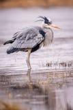 Uccello di grey dell'airone Immagine Stock Libera da Diritti