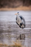Uccello di grey dell'airone Immagini Stock