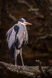 Uccello di grey dell'airone Fotografia Stock