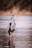 Uccello di grey dell'airone Fotografie Stock Libere da Diritti