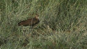 Uccello di Hamerkop sulla terra al parco nazionale di amboseli stock footage