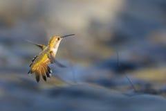 Uccello di Hoving fotografie stock