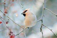 Uccello di inverno del Waxwing piccolo immagine stock libera da diritti