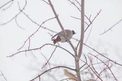 Uccello di inverno sull'albero waxwings fotografie stock